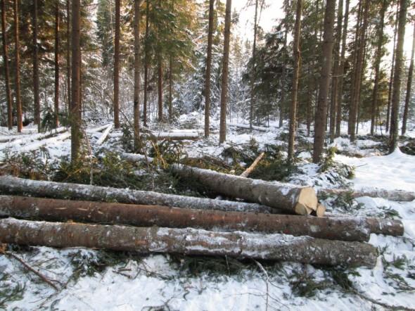 Helmikuu 2013 - tukkeja metsässä.