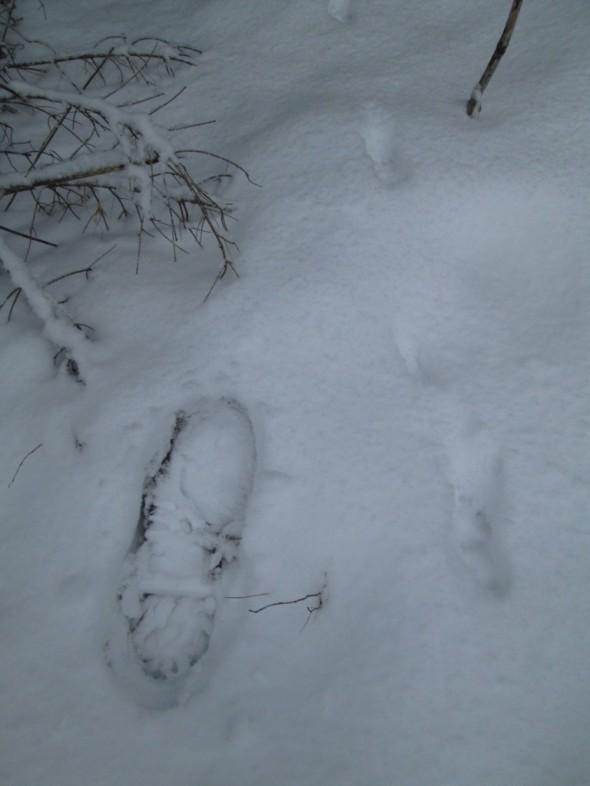 Kettu. Jäljet lumessa kuin helminauha, takajalat astuu etummaisten jalkojen jälkien päälle.