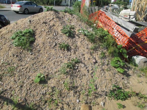 Viikon ennätyshelteet takanapäin - silti kuivassa hiekkakasassakin vaan jaksaa joitakin rikkaruohoja kasvaa.