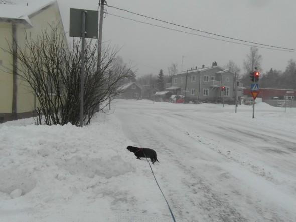 Kinosten korkeus mäyräkoiraan verrattuna. Ilmatieteenlaitoksen nettisivun mukaan lumen syvyys on Vantaalla 11.01.2015 hetkellä 14 cm.