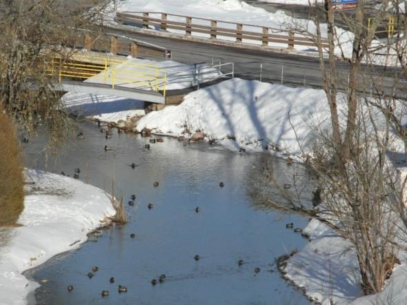 Sorsat joessa. Joki oli sula - kaikki järvet näytti olevan jäässä.