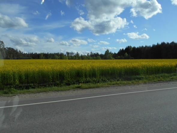 Virossa rypsipellot ovat jo keltaisina.