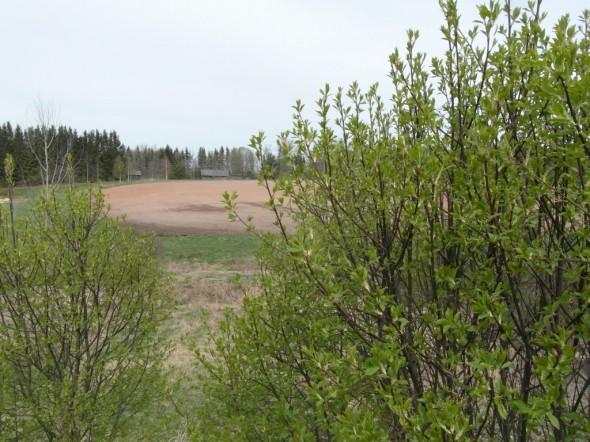 Joku tuntematon pensas jo aivan vihreänä pellon laidassa.