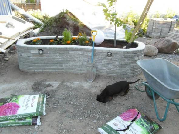 Kasvien istutus käynnissä. Mäyräkoiramme Ronja auttaa kuoppien kaivamisessa. Tuohon kaivuukohtaan nimittäin oikeasti tarvitaan kuoppa Kartiotuijaa varten. Tein vähän lapion pistolla alkua, ja Ronja jatkoi siitä sitten eteenpäin...